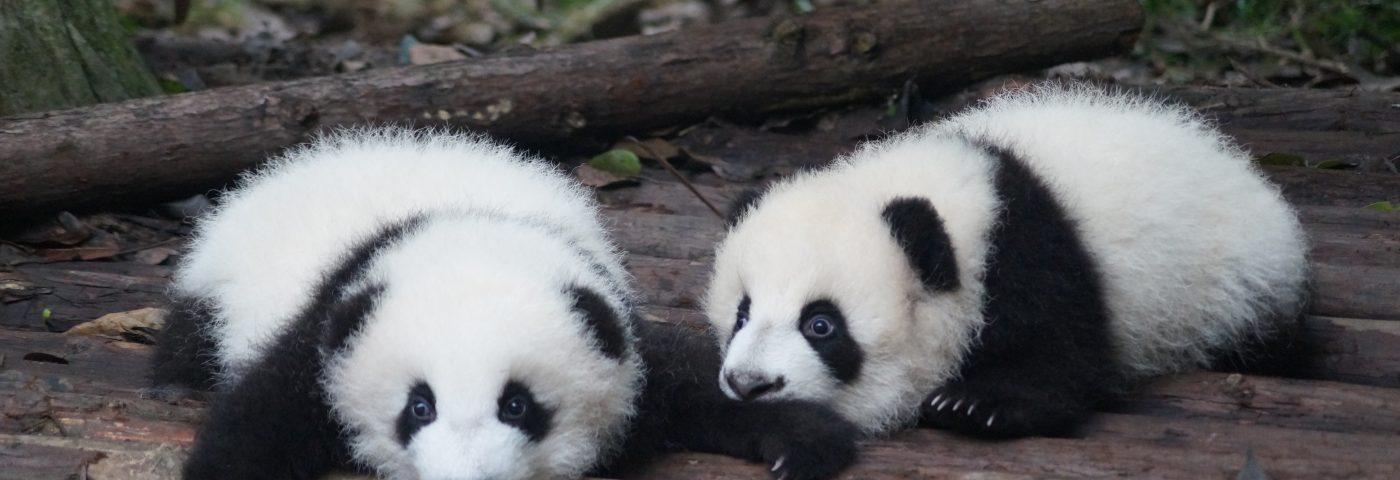 Tot ce trebuie să știi dacă călătorești la Chengdu